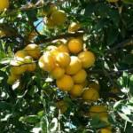 精油考 グレープフルーツ